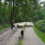 schapen_0000