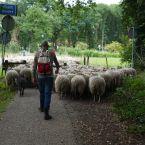schapen_0001