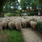 schapen_0002