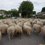 schapen_0003