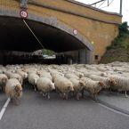 schapen_0005