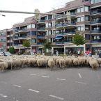 schapen_0006