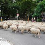 schapen_0008