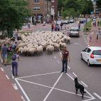schapen_0009