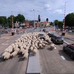 schapen_0010