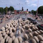 schapen_0011