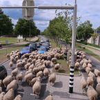 schapen_0012
