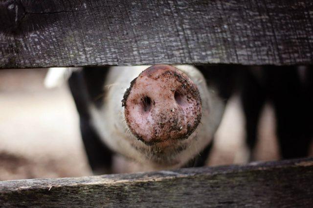 Nieuwsgierig varken